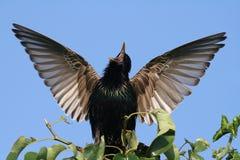 Starling Immagine Stock Libera da Diritti