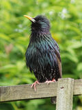 starling Images libres de droits