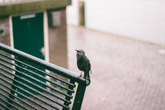 starling Fotografia de Stock Royalty Free