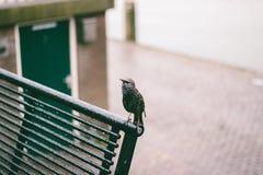 starling Fotografía de archivo libre de regalías