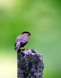 starling Stockfotografie