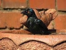 starling Immagine Stock