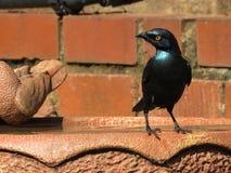 starling Fotografie Stock
