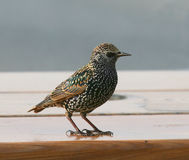 Starling image stock