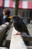 starling Foto de Stock