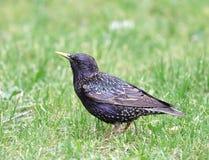 Starling. Stock Fotografie