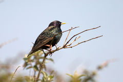 Starling Royalty Free Stock Photography