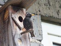 starling Imagen de archivo libre de regalías