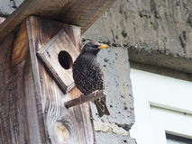 starling Lizenzfreies Stockbild