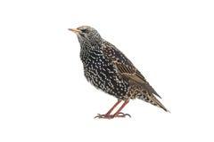 starling Foto de archivo libre de regalías
