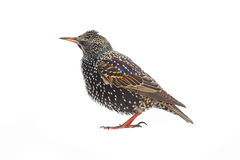 starling Stock Afbeelding