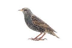 starling Fotografía de archivo