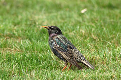 Starling. Bird starling royalty free stock photos