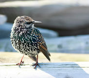 Starling Royalty Free Stock Images