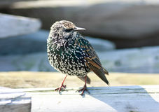 Starling Royalty Free Stock Photos