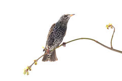 starling Stock Foto