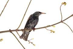 starling Royalty-vrije Stock Fotografie