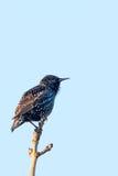 starling Imagem de Stock Royalty Free