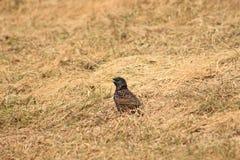 starling Imagen de archivo