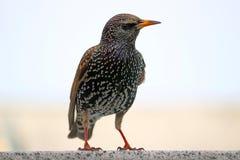 starling 免版税库存照片