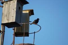 starling Immagini Stock