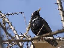 starling 库存照片