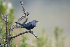 Starling ad ali rosse Fotografia Stock Libera da Diritti