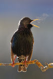 Starling ardent singing Stock Images