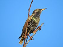 Starling Atop a Tree. With clear blue sky Taken in my garden February 2019 stock image