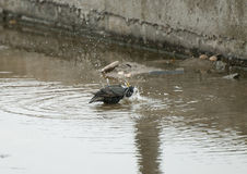 Starling. A Starling bathing in a puddle on and industrial estate in the northeast of England royalty free stock image