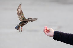 Starling becomes feed by a hand. Flying starling becomes feed by a male hand Stock Photos