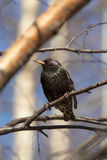 Starling on birch branch Royalty Free Stock Images