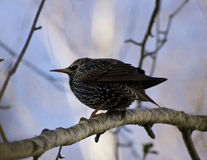 Starling bird Royalty Free Stock Images