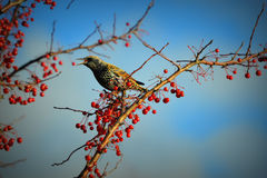 Starling Bird, Beak Open, Red Berries Stock Photography