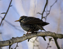 Starling bird on branch Royalty Free Stock Photo