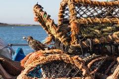 Starling bird, of family Sturnidae on lobster pots. stock photo