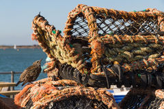 Starling bird, of family Sturnidae on lobster pots. royalty free stock photography