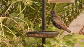 Starling bird feeding stock video footage