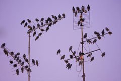 Starling bird flock Royalty Free Stock Images