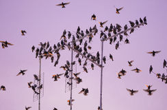 Starling bird flock Stock Images