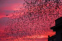 Starling bird flock Royalty Free Stock Photography