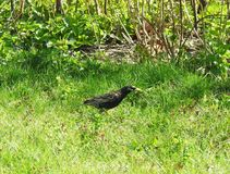 Starling bird on green grass, Lithuania Royalty Free Stock Images