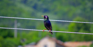 Starling bird landed on wire Royalty Free Stock Image
