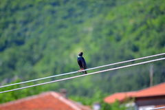 Starling bird landed on wire Stock Photos