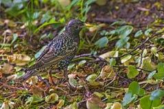Starling bird nestling grass Stock Photography