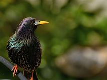 Starling bird portrait Stock Images