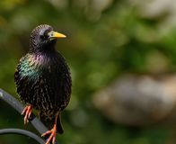 Starling bird portrait Stock Photos