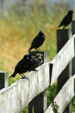 Starling Bird's On A fence. 4 Starling's on a fence with very soft-focus background Stock Photos
