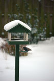 Starling on bird table Stock Photo