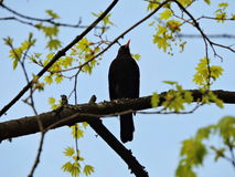 Starling bird on tree branch Stock Photos